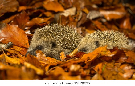 Two little hedgehog walking through autumn leaves