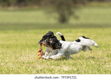 Two little hounds are playing energetically together with a ball and running with power and action over a meadow - purebred FCI tricolor Jack Russell Terrier male and female dog