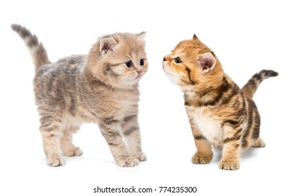 Two little kittens of the British breed, isolated on white
