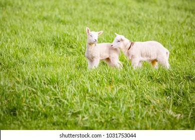 Two little lambs in a field