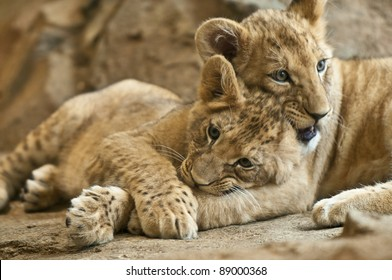 Two little lion cub sibling lying together