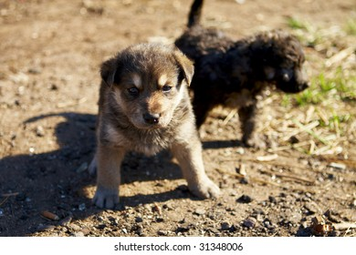 two little mongrel puppies