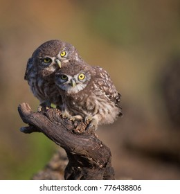 Two little owl (Athene noctua) sitting near the nest on a stick.