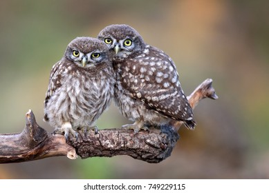 Two little owls (Athene noctua) sitting on a stick pressed against each other on a beautiful background.