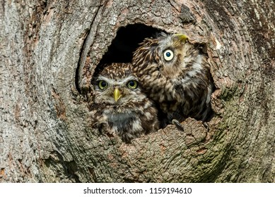 Two Little Owls, scientific name: Athene noctua, in their natural habitat and nesting in the hollow of a tree. One owl is  looking upwards. Horizontal.