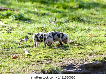 Two little piglets who are allowed to make themselves comfortable in the meadow