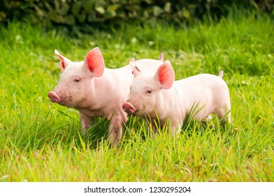 Two little pigs on a green meadow