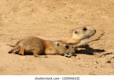 Two little prairie dogs on the ground, one stretching