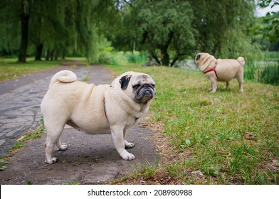 Two little pugs walking outdoors. Selective focus (on a pug with another pug out of focus in background).