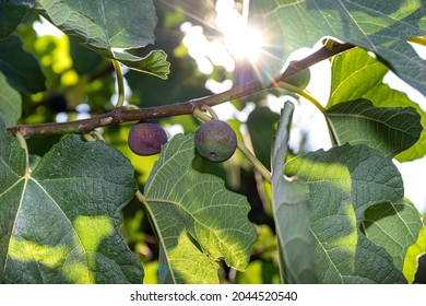 Two little purple figs not yet ripe on a branch. Rays of summer sunlight shine through the fig branches enhancing the green colour of the leaves.