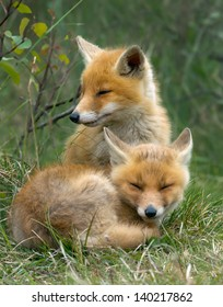 Two little red fox cub