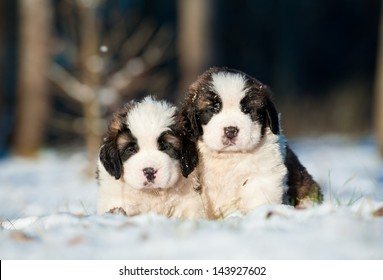 Two little saint bernard puppies sitting in winter