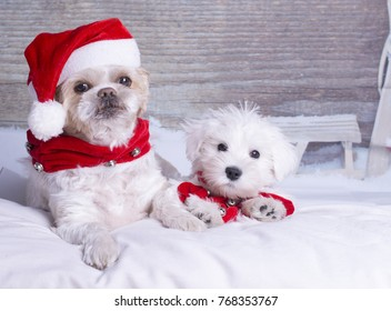 Two little white dogs with a Christmas hat and decoration, in a studio