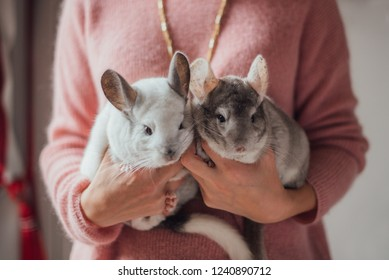 Two little white and grey fluffy chinchillas sits in the woman's hands in pink sweater