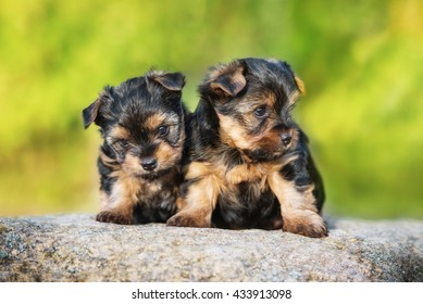 Two little yorkshire terrier puppies
