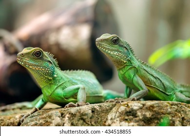 Two lizard look toward a bright eyes looking in the same direction as we find something new life, look at them very funny and cute, this to be preserved animals in wild