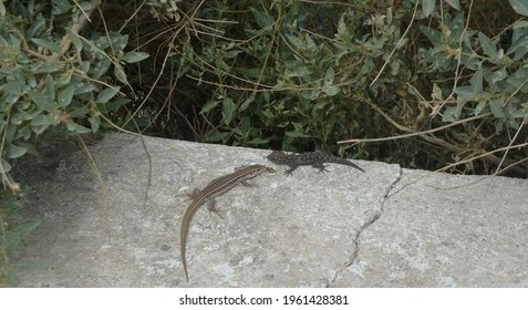 Two lizards, a grey-green Erhard's wall lizard (Podarcis erhardii) (Aegean wall lizard) and a  black-gray Kotschy's Gecko (Mediodactylus kotschyi) sitting on a wall