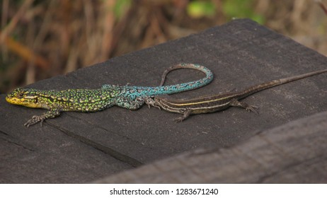 two lizzards together