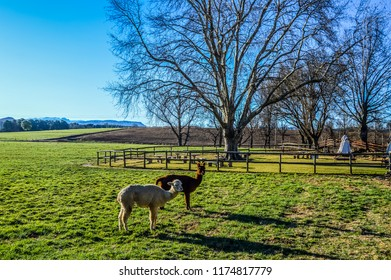 Two Llama or camelid in Underberg town near Himeville in KZN province of South Africa