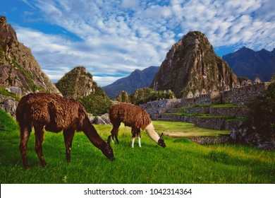 Two llamas eat grass in the Inca citadel of Machu Picchu. Back the hill Huayna Picchu. Machu Picchu is a historical sanctuary of Peru and was declared a Historical and Cultural Heritage of Humanity.