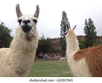 two llamas in the farm, Argentina
