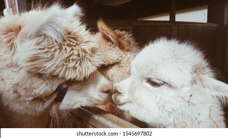Two llamas kissing. Cute little alpaca (lama animal, llama) baby in farm. Funny animal portrait. Close up tender young alpaca from llama farm or zoo. Furry lama baby