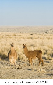 Two llamas (Lama glama), South American camelids, in the mountains at Cordoba, Argentina
