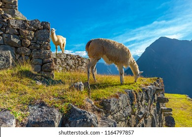 Two llamas on the terraced fields of Machu Picchu used for agriculture in Inca times at sunset near Cusco, Peru.