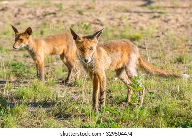Two Lone fox pup in a green grassy field