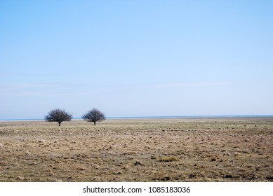 Two lone trees in a great plain grassland by Ottenby on the island Oland in Sweden