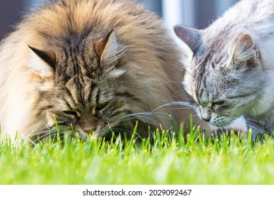 Two long haired cat of siberian breed eating grass