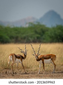 Two long horned male blackbuck or antilope cervicapra or indian antelope with eye contact in natural scenic landscape of tal chhapar sanctuary churu rajasthan india