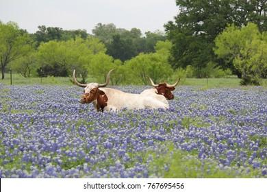 Two longhorns in bluebonnets.