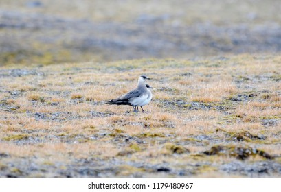 Two Long-tailed Jaegers (Stercorarius longicaudus) Perched on the Tundra at the Edge of the Arctic Ocean on the Coast of Spitsbergen Svalbard Archipelago in Northern Norway