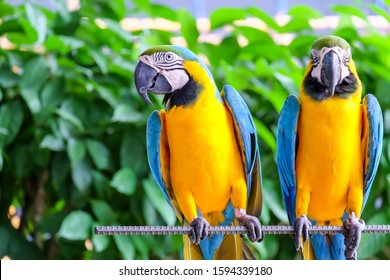 two long-tailed macaw parrot with colorful feathers. Macaw bird close up.Blue-yellow macaw parrot portrait. has a background of nature Soft focus with blurred background.