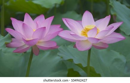 Two lotus in full bloom