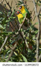 Two Lovebird Birds looking at each other sitting on a tree branch. Lovebirds are native to the African continent.