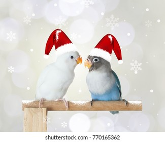 Two lovebirds wearing Christmas hat, Christmas background
