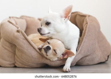 Two lovely, cute and beautiful domestic breed mammal chihuahua puppies friends lying, relaxing in dog bed. Pets resting, sleeping together. Pathetic and emotional portrait. Father hugs liitle daughter