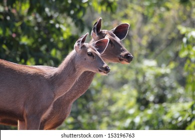 Two lovely sambar deer ( rusa unicolor ) in an indian forest ( jungle ) in southern peninsular india on a summer day