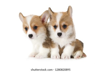 Two lovely Welsh Corgi Pembroke puppies  isolated on white background