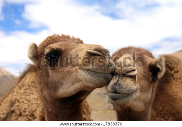 Two loving camels