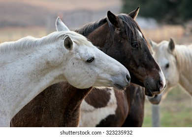 Two loving horses at a horse farm. One white, the other brown.