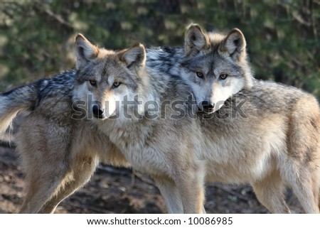 Two Loving Wolves