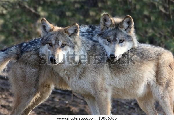 Two Loving Wolves
