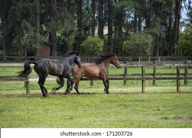 Two lusitano colts play in the paddock