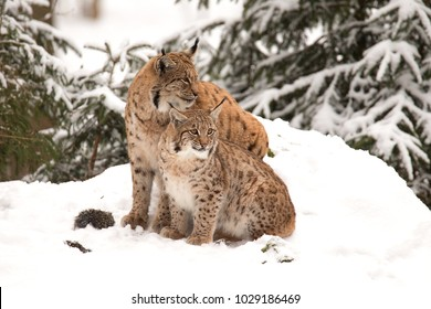 Two Lynx sitting in the snow