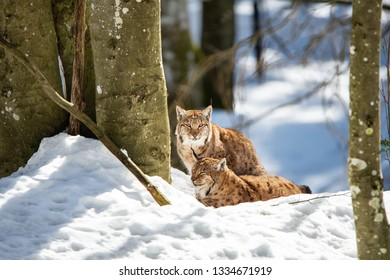 two lynxes resting in the snow in winter - National Park Bavarian Forest - Germany