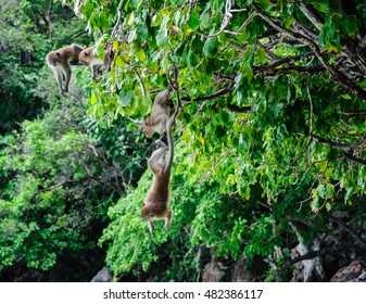 two Macaca fascicularis hung on the tree. Monkey island, Koh Phi Phi, Thailand