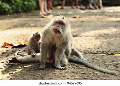 Two macaques in Monkey`s forest, Bali, Indonesia